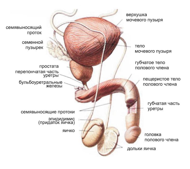 паразиты в мочеполовой системе человека фото