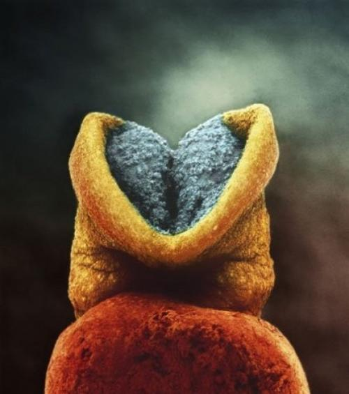 Эмбрион 22 дня